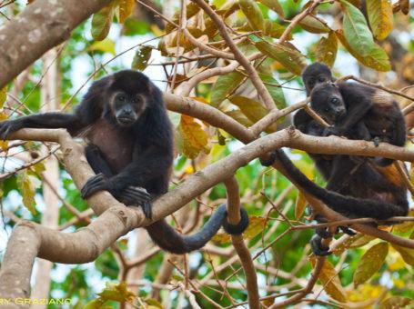Howler-monkeys at Playa Callejones